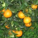 Arance Siciliane Varietà W. Navel Spremuta