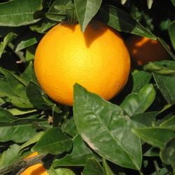 Arance Siciliane Vaniglia