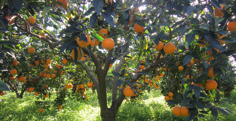 Arance Siciliane Naveline